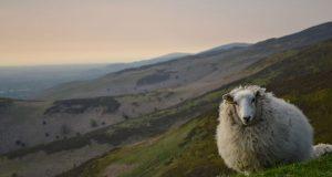 گوسفندان فاتح یا رستگاری در قله؛ در ستایش هدف