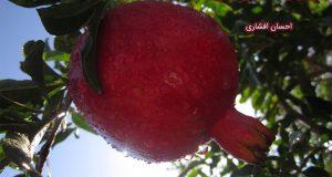 تو میوه ی درباری یک شاخه ی دوری